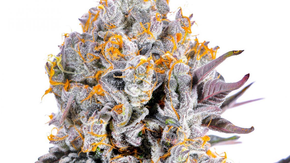 5 raisons d'acheter des fleurs de CBD cultivées en intérieur