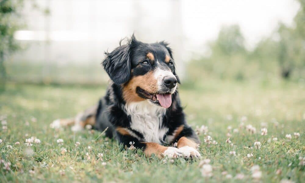 Avantages de l'introduction de l'huile de CBD pour animaux de compagnie dans l'alimentation de votre chien