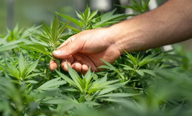 Les cannabinoïdes moins connus pourraient-ils être l'avenir du cannabis?