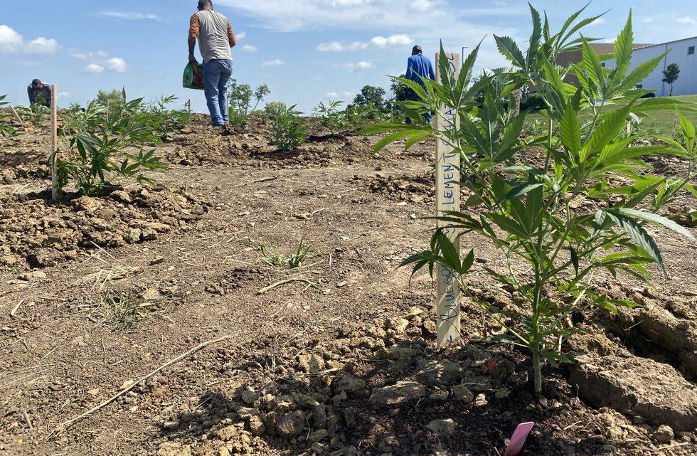 La saison de plantation de chanvre commence à Georgetown