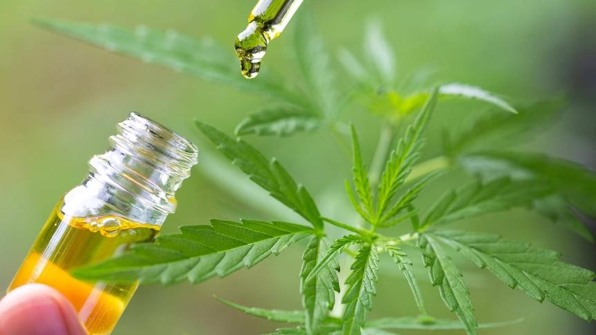 Une bouteille d'huile de CBD devant un fond de plants de cannabis.