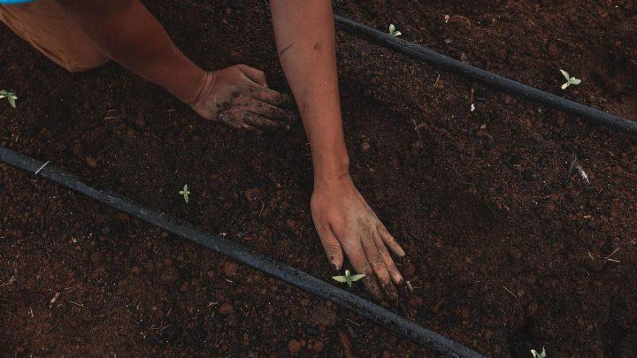 Découvrez comment est cultivé le chanvre qui donne les fameuses fleurs de CBD