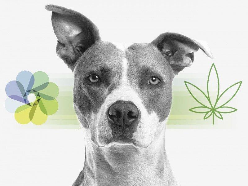 Huile de CBD et saisies de chien