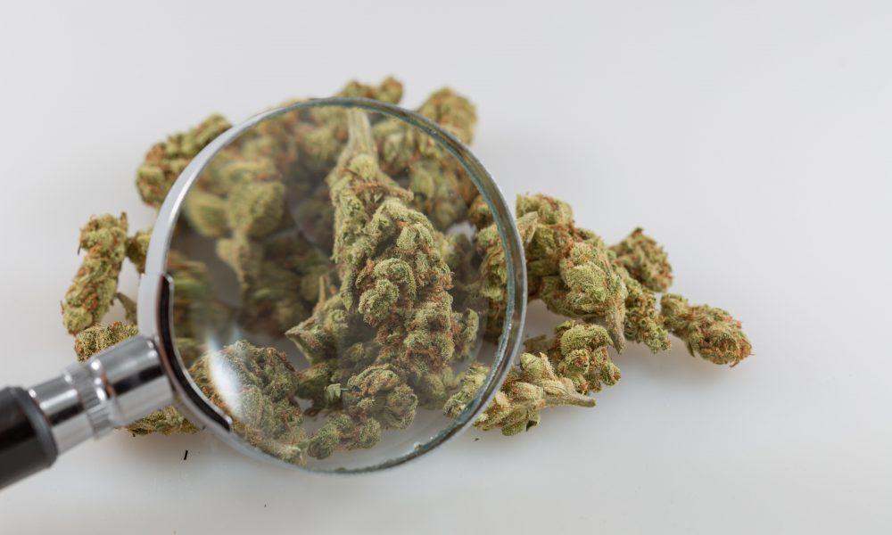 L'Agence scientifique fédérale publie le premier rapport sur la variabilité du THC et du CBD dans les résultats des tests de laboratoire sur le cannabis