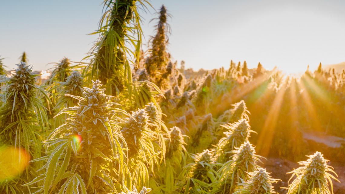 Les entreprises de CBD américaines continuent d'être englouties par les entreprises canadiennes de cannabis – Technical420