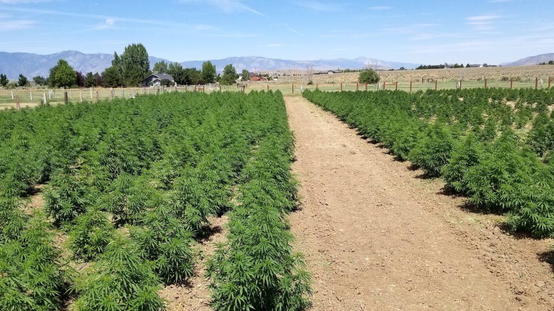 «Offre excédentaire massive»: les producteurs de chanvre du Nevada reculent sur un marché saturé de CBD